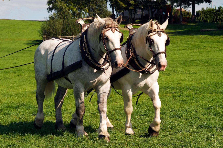 chevaux percherons